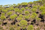 Forest of stone or umbrella pines, Pinus pinea, Rio Tinto river valley, Minas de Riotinto, Huelva, Spain