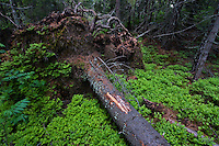 Dead Spruce (Picea abies) with exposed root plate. Western Tatras, Slovakia. June 2009. Mission: Ticha