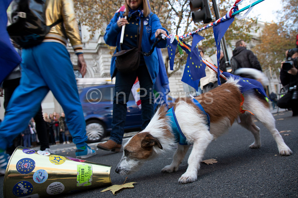 Anti Brexit pro Europe demonstrator Charlotte Morrow with her dogs Pebbles and Pippin, of which one was born in Ireland and the other in France in Westminster opposite Downing Street on the day the Prime Minister takes her draft Brexit deal to gain backing from her cabinet in Westminster on 14th November 2018 in London, England, United Kingdom.