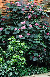Clerodendrum bungei with X Fatshedera lizei  and lungwort in a corner of the Mosaic garden at Great Dixter