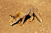 Red Fox (Vulpes vulpes). The Red Fox is the largest of the true foxes, as well as being the most geographically spread member of the Carnivora, being distributed across the entire northern hemisphere from the Arctic Circle to North Africa, Central America, and the steppes of Asia. Photographed in Israel, Negev Desert