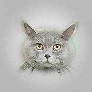 Digitally enhanced image of a Majestic British Shorthair (AKA British blue) cat on green pillow