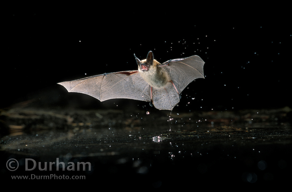 A western long-eared myotis (Myotis evotis) drinking from a pond near Fort Rock State Monument. Dechuutes National Forest, Oregon.