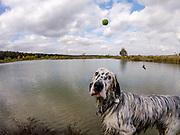 """English Setter Welpe """"Rudy"""" sucht seinen Ball am 14.10. 2017 am Teich von Stara Lysa, (Tschechische Republik).  Rudy wurde Anfang Januar 2017 geboren und ist vor einiger Zeit zu seiner neuen Familie umgezogen."""