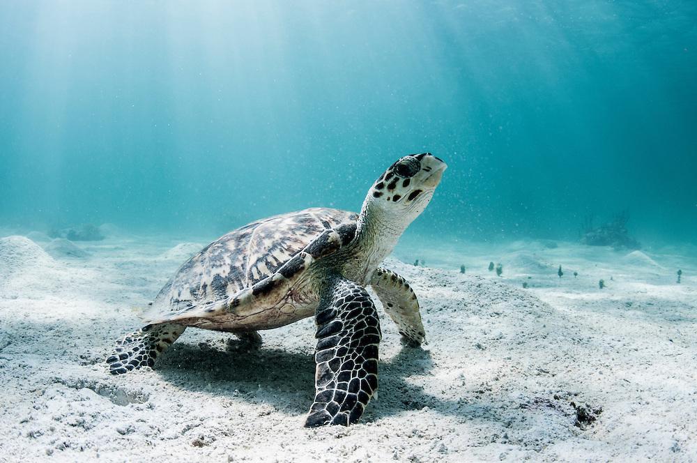 Hawksbill Sea turtle (Eretmochelys imbricata) resting in the sand.