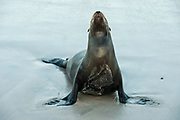 Galapagos Sealion (Zalophus wollebaeki)<br /> Santa Fe Island<br /> GALAPAGOS ISLANDS<br /> ECUADOR.  South America