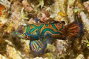 Mandarinfish.(Synchiropus splendidus).Lembeh Straits,Indonesia