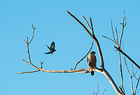 A Peregrine Falcon, Falco peregrinus, is harassed by a  Brewer's Blackbird, Euphagus cyanocephalus, as it perches in a tree at Sacramento National Wildlife Refuge, California