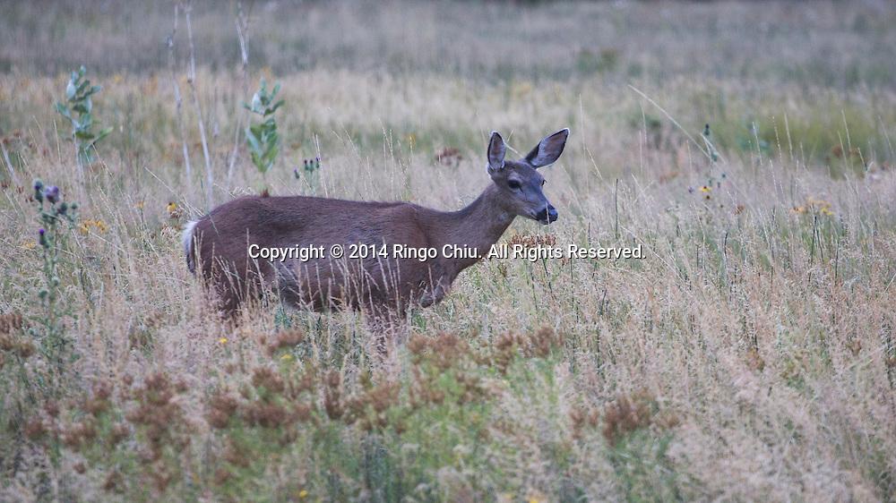 A deer at Yosemite National Park, California. (Photo by Ringo Chiu/PHOTOFORMULA.com)