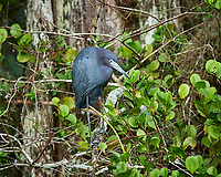 Little Blue Heron perched on a branch in Big Cypress Swamp. Image taken with a Nikon Df camera and 400 mm f2.8 lens (ISO 800, 400 mm, f/5.6, 1/400 sec).