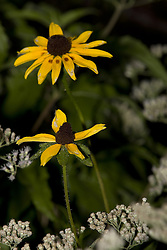 10 Oct 2011: Black-eyed Susan flower. Rural Indiana, specifically in or close to Brown County.