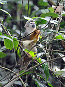 A common squirrel monkey or South American squirrel monkey (Saimiri sciureus) forages for food in the treetops. Yasuni National Park, Amazon, Ecuador.