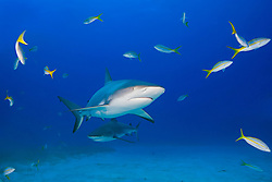 Caribbean Reef Sharks, Carcharhinus perezi, and Yellowtail Snappers, Ocyurus chrysurus, West End, Grand Bahamas, Atlantic Ocean