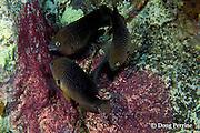 threespot damselfish, Stegastes planifrons, feeding on eggs of sergeant major damelfish, Abudefduf saxatilis, Dominica ( Caribbean )