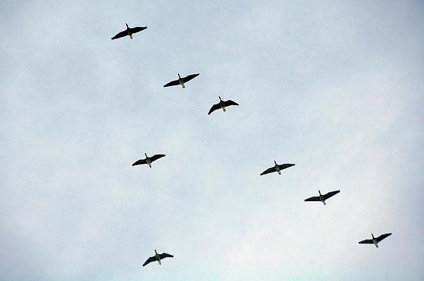 Nederland, Ubbergen, 20-12-2010Wilde ganzen vliegen in v-formatie door de lucht.Foto: Flip Franssen/Hollandse Hoogte