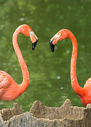 Two pink flamingo greet each-other at a sparkling green lake