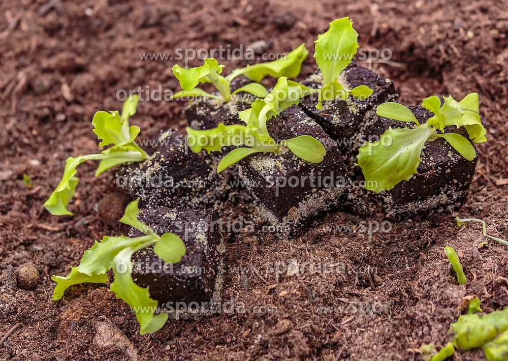 THEMENBILD - Salatsetzlinge, aufgenommen am 10. April 2018 in Kaprun, Österreich // lettuce seeds, Kaprun, Austria on 2018/04/10. EXPA Pictures © 2018, PhotoCredit: EXPA/ JFK