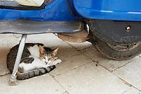 Tanzanie, archipel de Zanzibar, île de Unguja (Zanzibar), ville de Zanzibar, quartier Stone Town, chat des rues // Tanzania, Zanzibar island, Unguja, Stone Town, street cat