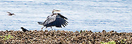 A Great Blue Heron and a Crow walk on the beach at the edge of a Pacific Oyster bed at Stavis Bay on the Hood Canal of Puget Sound Washington state, USA. websize panorama