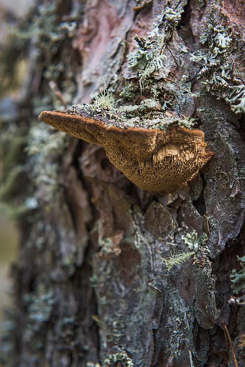 Bracket fungus Phellinus pini growing on scots pine (Pinus sylvestris), near Bērzciems, Kurzeme, Latvia Ⓒ Davis Ulands | davisulands.com