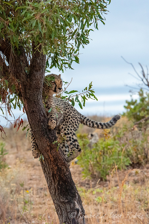 Cheetah (acinonyx jubatus) in Welgevonden Game Reserve, Limpopo Province, South Africa.