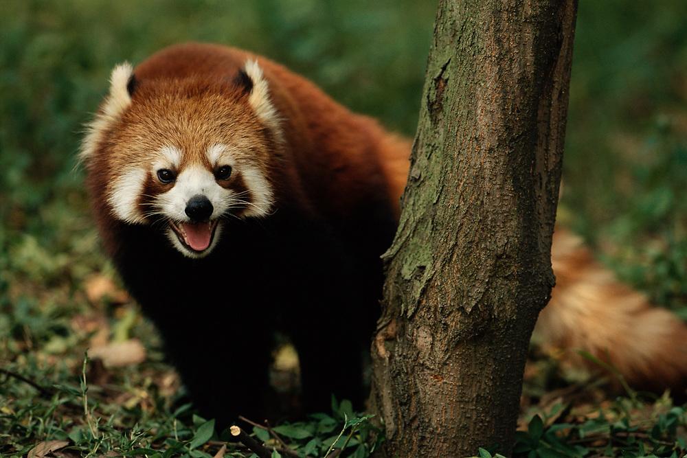 Lesser or Red Panda<br />Ailurus fulgens<br />CHINA, INDIA, NEPAL. BHUTAN