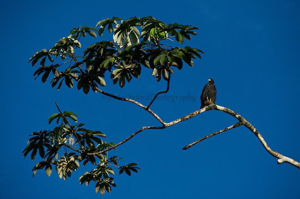 Common Black Hawk (Buteogallus anthracinus)<br /> Yasuni National Park, Amazon Rainforest<br /> ECUADOR. South America<br /> HABITAT & RANGE: Southwestern United States through Central America to Venezuela, Peru, Trinidad and the Lesser Antilles.