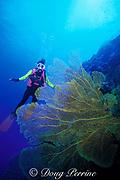 diver and sea fan, possibly <br /> Subergorgia mollis, MR 205<br /> Flinders Reef, Coral Sea, <br /> Australia<br /> diver and sea fan,possibly Semperina <br /> or Subergorgia sp., MR 205<br /> Flinders Reef, Coral sea, <br /> Australia