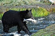 Black Bear with Salmon in mouth in Valdez, Alaska