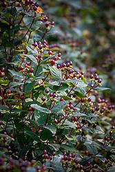 Berries of Hypericum inodorum Magical series - St. John's Wort