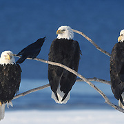 Bald Eagle (Haliaeetus leucocephalus) trio of adults with a Northwestern Crow (Corvus caurinus). Alaska