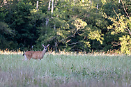 Columbian Black-tailed Deer (Odocoileus hemionus ssp. columbianus) foraging in a field at Campbell Valley Park in Langley, British Columbia, Canada.