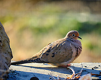 Mourning Dove. Image taken with a Fuji X-H1 camera and 200 mm f/2 lens + 1.4x TC