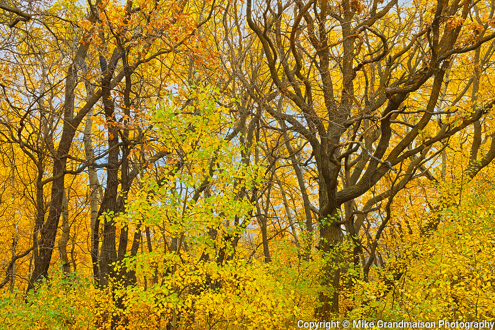 Hardwood trees in autumn colors<br />Birds Hill Provincial Park<br />Manitoba<br />Canada