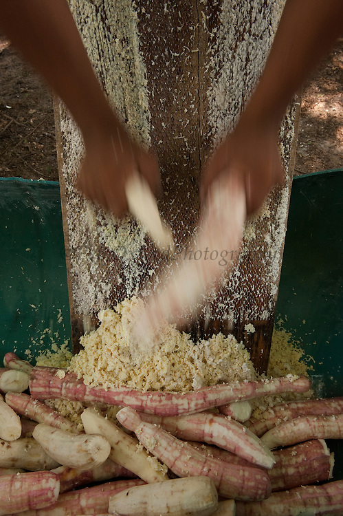 Preparing cassava bread,<br /> Fairview Amerindian village<br /> Iwokrama Reserve<br /> GUYANA. South America<br /> Cassava (yucca) is first harvested, peeled, grated, squeezed in a matape, sieved, and roated into a large flat piece of bread