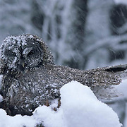 Great Gray Owl, (Strix nebulosa)  Adult keeping chicks in nest almost ready to fledge warm in late spring snowstorm. Montana.