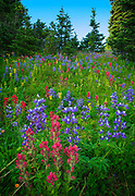 Summer wildflowers in the Sunrise area of Mount Rainier National Park