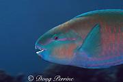 parrotfish, Scarus sp., Bay of Wrecks, Christmas Island ( Kiritimati ), Republic of Kiribati, northern Line Islands, equatorial Central Pacific Ocean