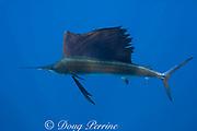 Atlantic sailfish ( Istiophorus albicans or Istiophorus platypterus ) <br /> Yucatan Peninsula, Mexico ( Caribbean Sea )