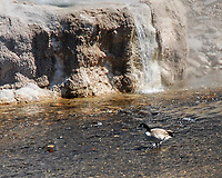Canada Goose. Riverside Geyser. Yellowstone National Park, Wyoming. Image taken with a Nikon D200 camera and 18-70 mm VR lens.