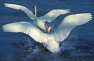 Schwaene :: Swans