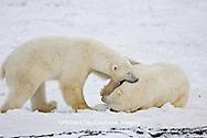 01874-11220 Polar Bears (Ursus maritimus) sparring, Churchill Wildlife Management Area MB