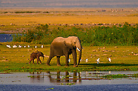 African elephant and baby elephant, Amboseli National Park, Kenya