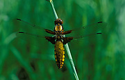 Broad Bodied Libellula Dragonfly, Libellula depressa, female, resting on reed in sunlight, Surrey, chaser
