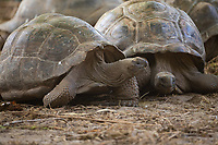 Tortoises in Seychelles