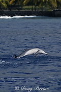 Hawaiian spinner dolphin or Gray's spinner dolphin, Stenella longirostris longirostris, jumping with remora on belly, Kona, Hawaii ( the Big Island ), USA ( Central Pacific Ocean )