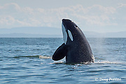 transient orca or killer whale, Orcinus orca, spyhopping, Strait of Georgia, north of San Juan Islands, Washington, United States, near Vancouver Island, British Columbia, Canada