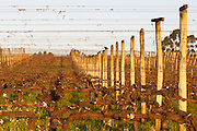 View over the vineyard at sunset. Vines trained in Cordon Royat, winter pruned, wooden supporting posts and metal wires to tie the vines to. Bodega Carlos Pizzorno Winery, Canelon Chico, Canelones, Uruguay, South America