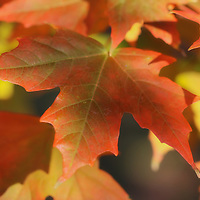 """""""As the Maple Turns"""" <br /> <br /> Beautiful maple leaves in fall turning from green to orange. hues of red, orange, and yellow!"""