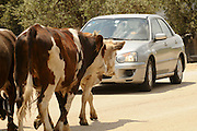 Israel, West Bank, Samaria, Dotan Valley, a herd of cows in the street a car waiting for them to pass